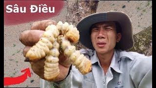 """Đi Bắt Con """"Sâu Điều"""" Nhìn Giống """"Con Đuông Dừa"""" ,""""Con Mối Chúa"""" .Ăn Thử Xem Mùi Vị Thế Nào."""