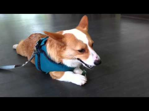 Pembroke Welsh Corgi Marumaru Eating a Dental Bone with His