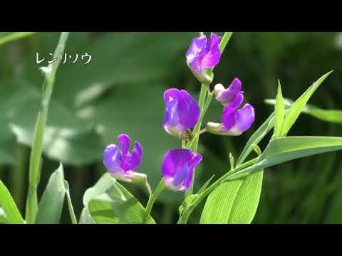 아소의 들의 꽃 봄부터 초여름