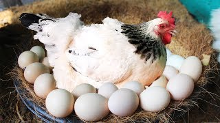 """Hen Harvesting Eggs to Chicks Country Eggs to New """"BORN"""" Murgi Birds Smallest Chicks (FishCutting)"""