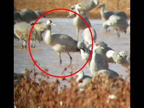 First Common Crane Spotted in Texas