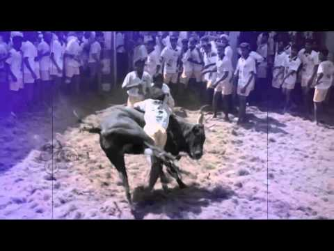 Amazing Video Of Ancient Tamil Sport : Jallikattu - Eerr Thazhuvathal Hd video