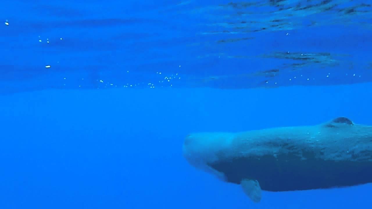 Sperm whale and calf - photo#27