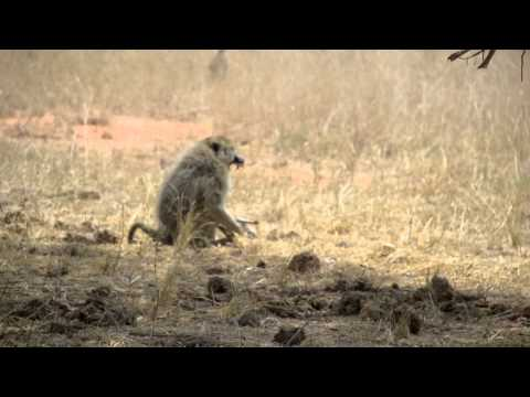 BABOON ATTACK : MAMA DEFENDS PUPPY