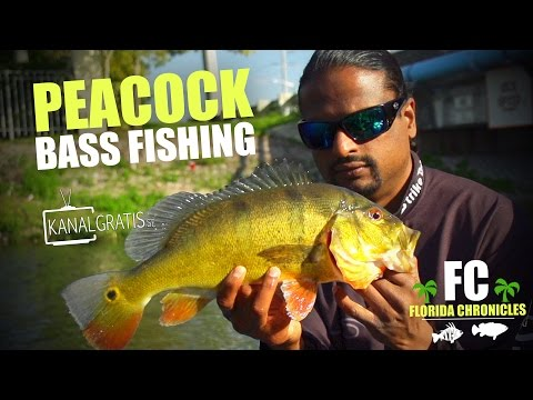 Florida Chronicles - Peacock Bass Fishing in Florida | ft. Bassonline.com & Kanalgratis.se