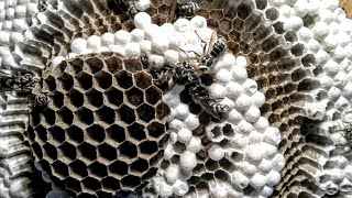 Bald Faced Hornets LARGE NEST Yellow Jackets removal ASMR