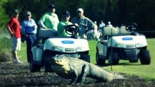 Legged Alligator Attacks Golf Tourney