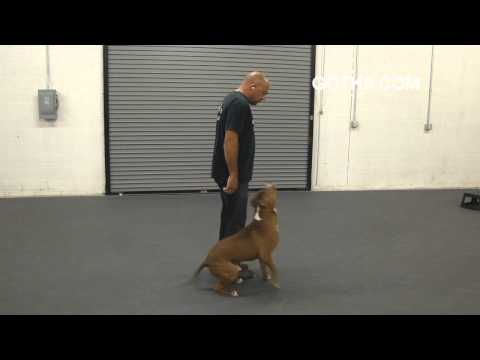 Got K9 Pitbull Dog Training In Las Vegas Nevada video