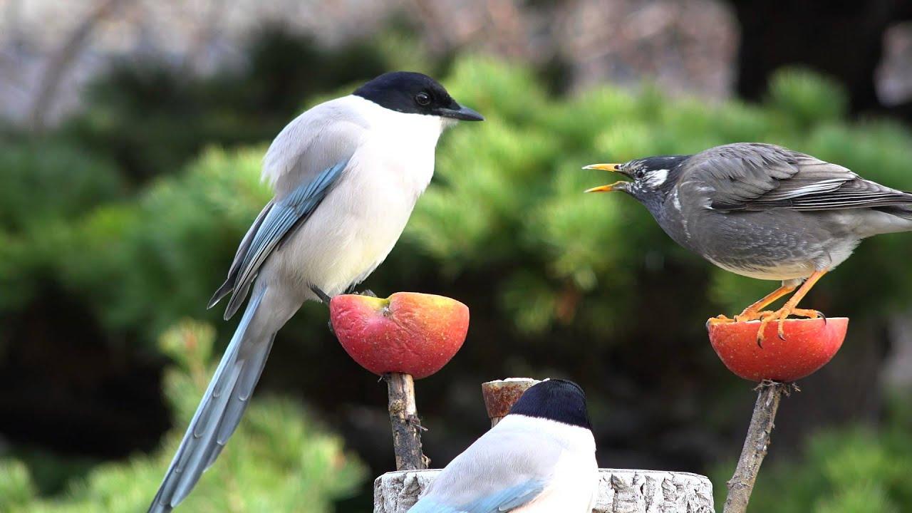 haruyuki onoue 自宅の餌場でオナガとムクドリの餌取り合戦・4K撮影 - YouTu