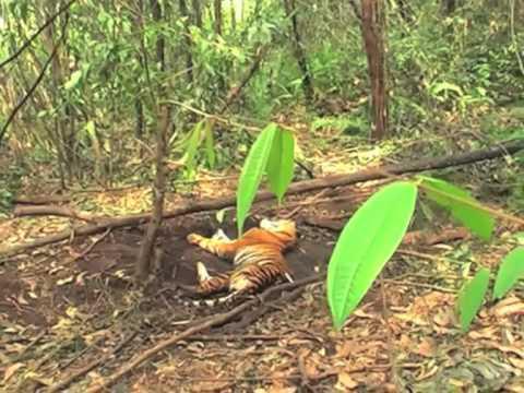 Harimau Sumatera Itu Akhirnya Mati di Konsesi APP, Group Sinar Mas