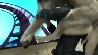 Funny dog scared of fake roller coaster