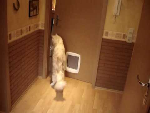 Maine Coon Cat opens door! Video