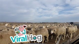Holy Sheep || ViralHog