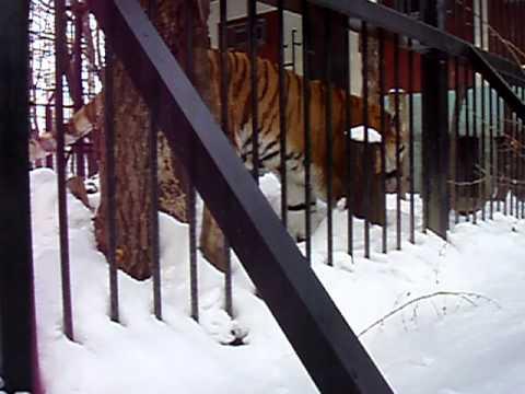 おびひろ動物園 2010.12.31 アムールトラ タツオ
