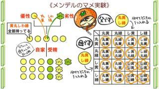 生物遺伝1話「遺伝の法則」byWEB玉塾
