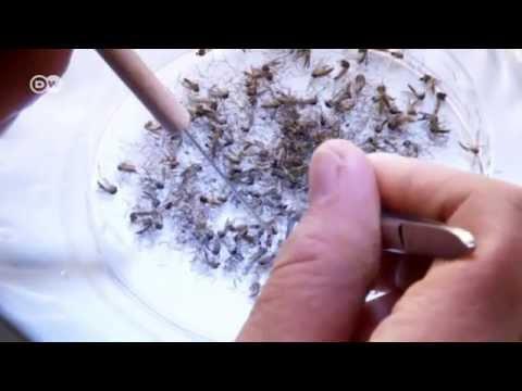 Fighting Dengue Fever | Tomorrow Today