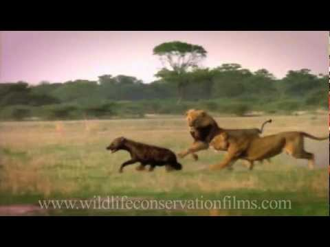Amazing sights and reflections from 30 years of wildlife films