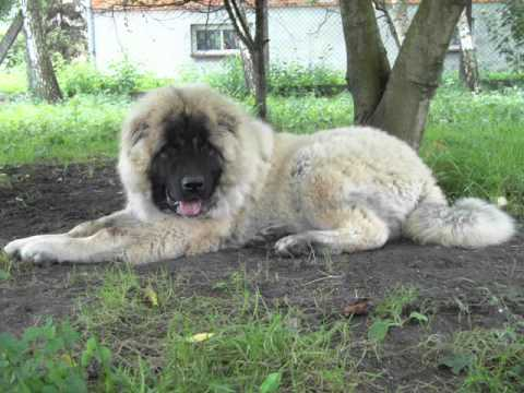 Caucasian Mountain Dog Puppies Cross