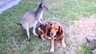 Kangaroo and dog caught kissing-funny Videos