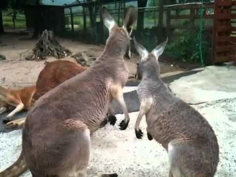 妙な動きをするカンガルー