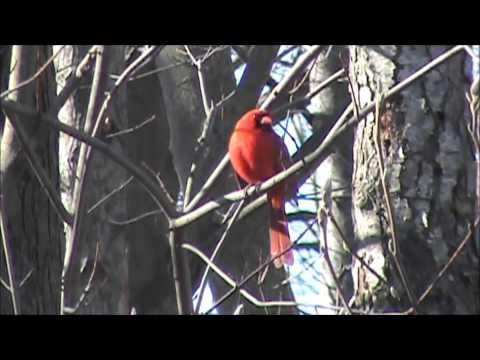 Northern Cardinal preparing for the spring season