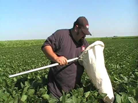 HZ_PRA Agronomist Robert Phillips on Cabbage Looper in Soybeans