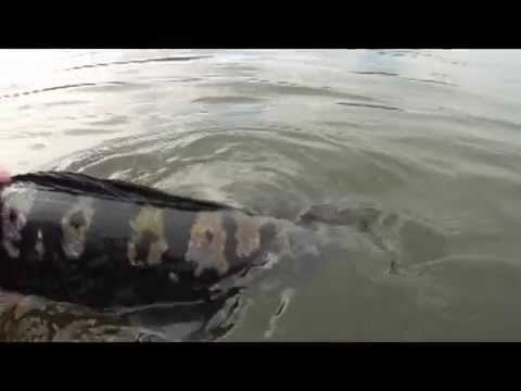 20Ibs (9KG) Monster MAMA Toman Giant Snakehead Wild Fishing Thailand By BKKGUY