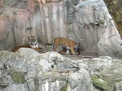 Malayan Tiger and cubs