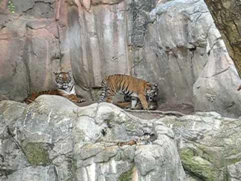 Malayan Tiger and cubs
