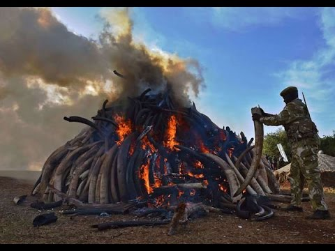 Kenya burns world's biggest ivory haul