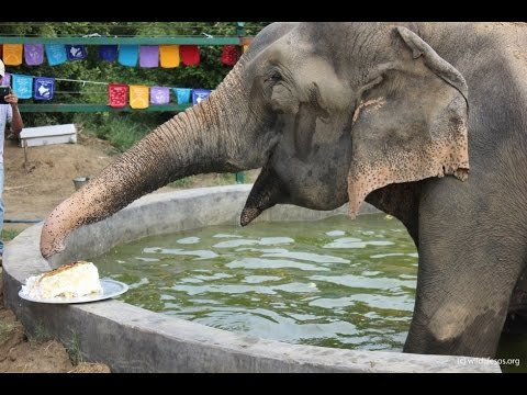 Raju The Elephant Celebrates Birthday After Being Freed From 50 Years Of Abuse