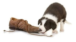 Teach Your Puppy to Drop Something|Puppy Care