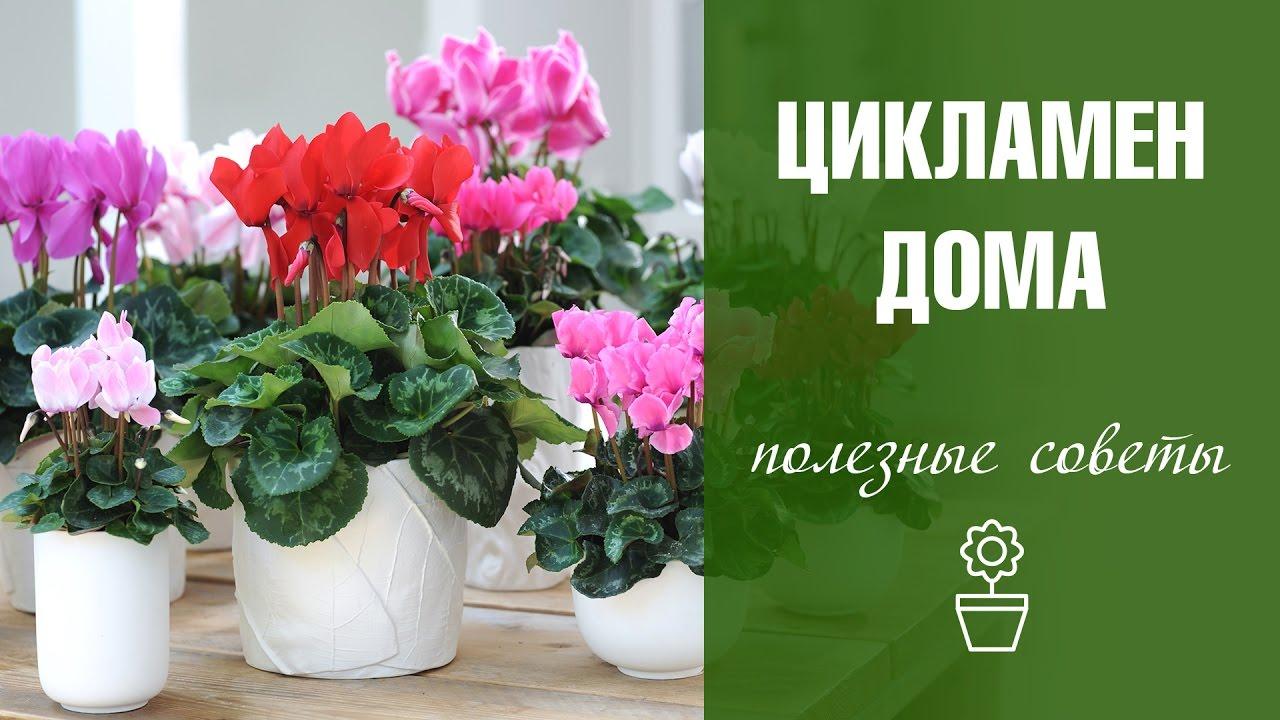 Уход за цветами в домашних условиях цикламен 127