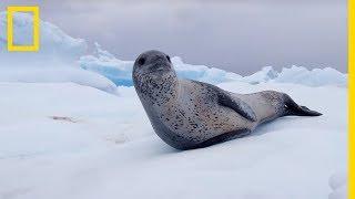 Cet immense léopard de mer joue et chasse en Antarctique