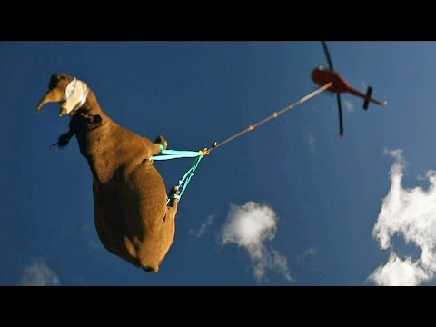Black Rhino Is Airlifted By Helicopter To New Home SUBSCRIBE: http://bit.ly/Oc61Hj A helicopter hoists a rhino high above the tree canopy - by its ANKLES. The horned giants were airlifted...