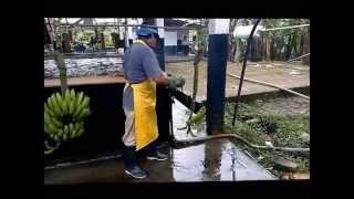 Ekvador - Anamur muz yetiştiriciliği Muz Yetiştiriciliği Growing of banana