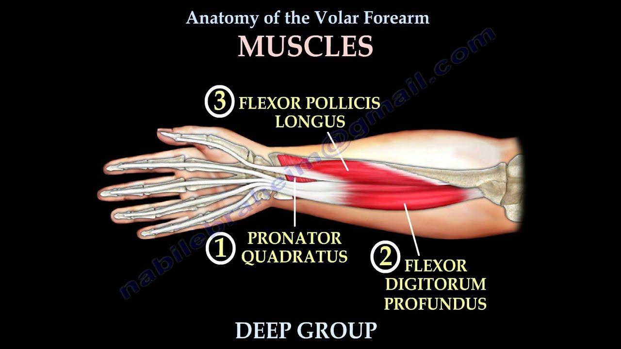 Volar forearm anatomy