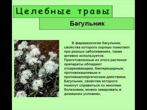 Images Of Багульник - Images Of All