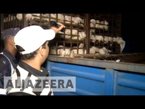 Nepal poultry farmers attack bird flu cull