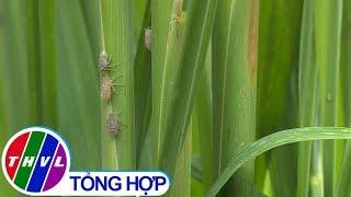 THVL | Nông nghiệp bền vững: Quản lý tính kháng của rầy nâu