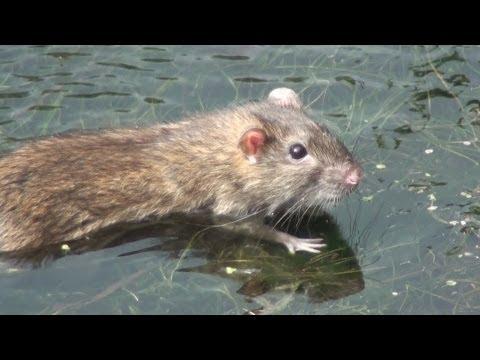 A cute swimming Rat at Markeaton Brook Walkway, Derby, Derbyshire,U.K. Sept 2011