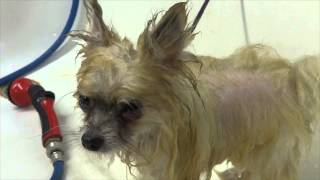 Tiny Neglected Pomeranian gets rescued