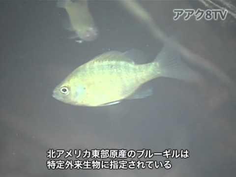 アアク8TV水中映像×Goovie 岐阜県の魚類08 外来種1