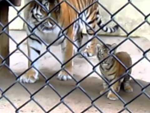 安佐動物園の4匹の赤ちゃんトラ