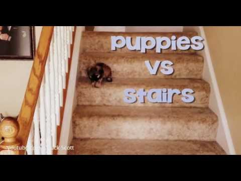 Puppies Vs. Stairs