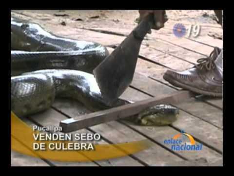 Pucallpa: Encuentran anaconda gigante dentro de vivienda