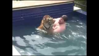 Banho com o tigre na piscina -  Bath with the tiger in the pool.