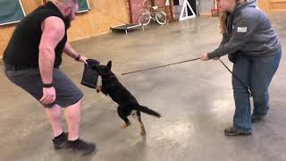 "Beautiful GSD Puppy Female ""Clara"" 14 Wks Early Protection Training"