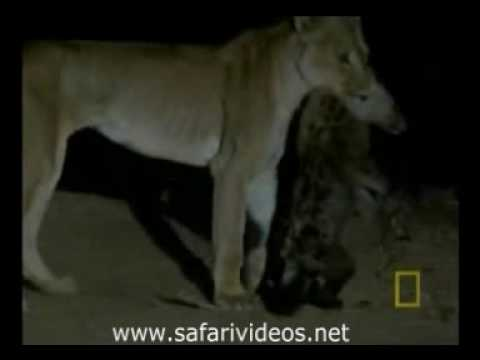 Lion Attack to Hyena and Killed (Safari Videos)