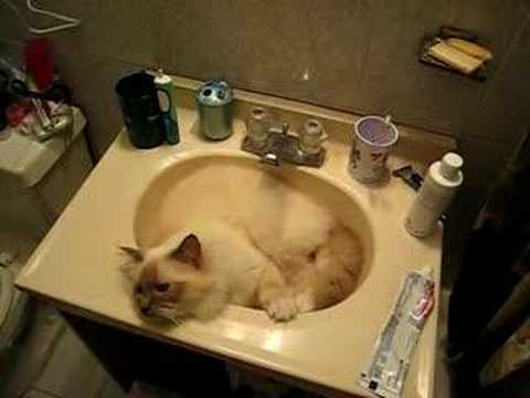 Dior, talking BIrman cat, refusing to leave the sink Video